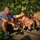 Зеленые саженцы винограда в наличии, лоза