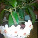 Хойя взрослое растение
