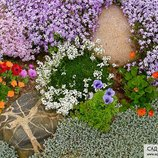 цветущий мох,растения коврики,почвопокровные растения,цветы для альпинария,многолетние цветы