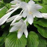 Хоста, Hosta, Функия-Крупная, многолетнее шикарное растение для ленивых, черенки, обмен