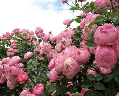 Роза английская Эскар Видзигман 2х летки Зкс