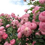 Роза английская Эскар Видзигман