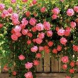 Роза плетистая Розанна 2х летка на подвое