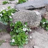 Фиалка белая садовая многолетняя