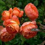 Роза Пэт Остин английская полуплетистая 2х 3х летки на подвое