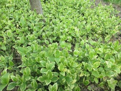 Бересклет Форчуна. Растение в стаканчике. Многолетник для сада, почвопокровник.