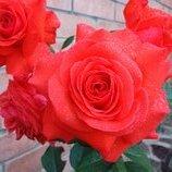 Роза плетистая Maintower 2х лет Зкс