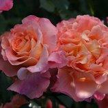 Роза шраб Augusta Luise Тантау 2х.летка