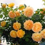 Роза плетистая Golden Celebration 2х летки подвой