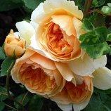 Роза плетистая Golden Celebration 2х лет Зкс