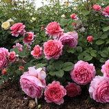 Роза Английская Jubilee Celebration 2х.лет Зкс