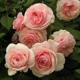Роза Английская шраб A Shropshire Lad 2х.летка