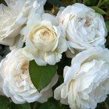 Роза английская Winchester Cathedral 2х лет Зкс Весна-19