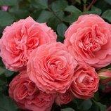 Роза флорибунда Schackenborg 2х летки подвой