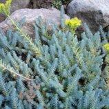 Очиток седум отогнутый Blue Forest голубой . Растение в стаканчике.
