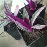Рео - кімнатна рослина