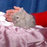 Карликовые декоративные кролики мини