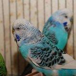 Попугай волнистый выставочный Чех для разговора