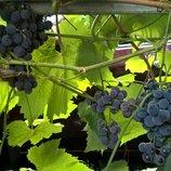 Виноград неукрывной Гриф и Любава