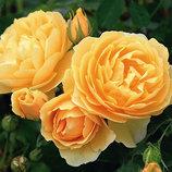 Роза английская Graham Thomas 2х летка Зкс Весна-19