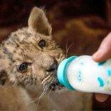 Родились львята, возраст 2 недели, африканский лев