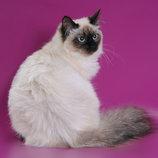 продается очень красивая и нежная породистая сибирская невская маскарадная кошечка с родословной