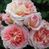 Роза плетистая Cesar 2х.летки подвой Зкс