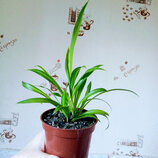 Хлорофитум зеленый комнатное растение озонатор очиститель воздуха