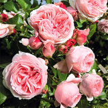 Роза плетистая Giardina 2х лет Зкс Весна-19