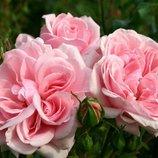 Роза флорибунда Home & Garden 2х летки Зкс Весна-19