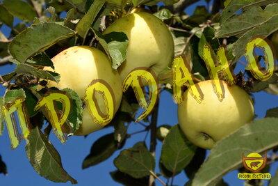 Яблука домашні, зимові.