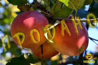 Яблука домашні осінні.