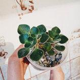 Комнатные растения распродажа Алоэ Хризантема белая Каланхоэ Эуфорбия Кактус Хлорофитум Спатифилум