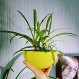 Хлорофитум в пиале горшке зеленое комнатное растение цветущее