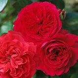 Весна-19 Роза флорибунда Red Leonardo Da Vinci 2х летки Зкс