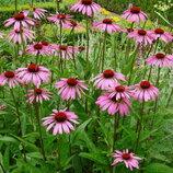 Эхинацея пурпурная. Многолетник для сада. Лекарственное растение.