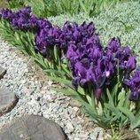 Ирис бордюрный, низкоросный фиолетовый. Многолетник. для сада