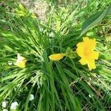 Лилейник желтый, ранний низкий. Многолетник для сада.