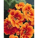 Картины по номерам - Примула оранжевая КНО3050