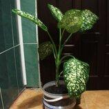 Дифенбахия Растение большое с горшком и землей для офиса магазина квартиры