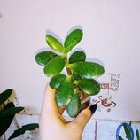 Толстянка денежное дерево красула суккулент неприхотливое комнатное растение