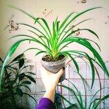 Хлорофитум зеленый растения для дома и офиса