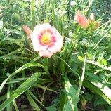 Лилейник розовый