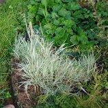 Злак декоративный. бухарник, трава полосатая