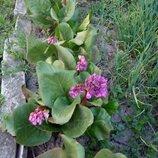 Бадан, многолетник для сада, лекарственное растение.