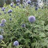 Мордовник шароголовый, многолетник для сада, медонос, лекарственное растение
