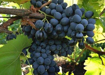 Для здоровья, молодости сок 100% с вишни, винограда