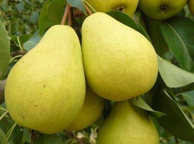 Сухофрукты сушки яблоки, груши, слива, кизил, ассорти