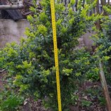 Самшит от 20 до 85 см. 2-8 летки, возможна высадка в горшки. цены от 20 до 400 гнр все зависит от ро