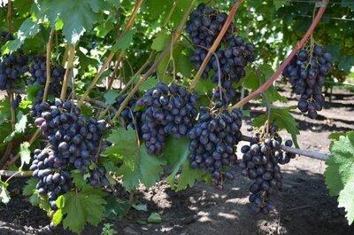 Натуральный сок с винограда 100%